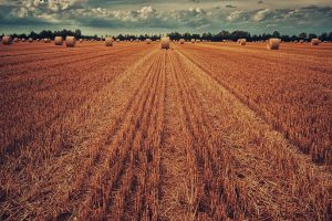 field, harvest, wheat-3186902.jpg