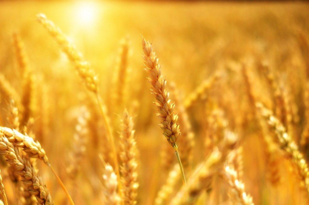 wheat, cornfield, sunset-3506758.jpg