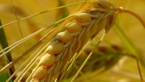 grain, cereal type, cornfield-163312.jpg