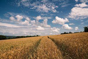 wheat, field, sky-6560622.jpg